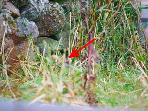 Little bunting record shot