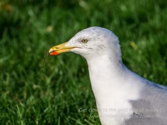 Herring Gull Portrait