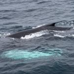 Humpback Whale, West Cork, Ireland