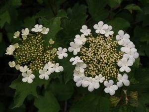 Guelder Rose Irish Wildflowers