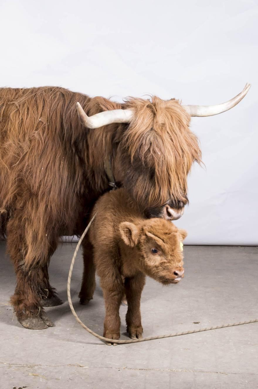 vacca-scozzese_03