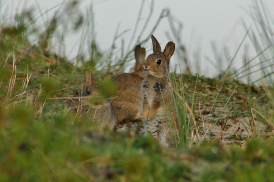 Jonge konijnen Ameland