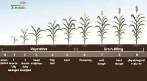 Grain Sorghum Growth Chart