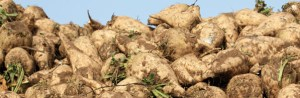 Sugar Beets Photo