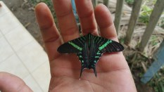 This has to be one of the most beautiful butterflies I've seen yet. He was dead though and easy pickings