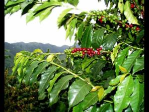 Coffee farmers to benefit from project aimed at improving yields