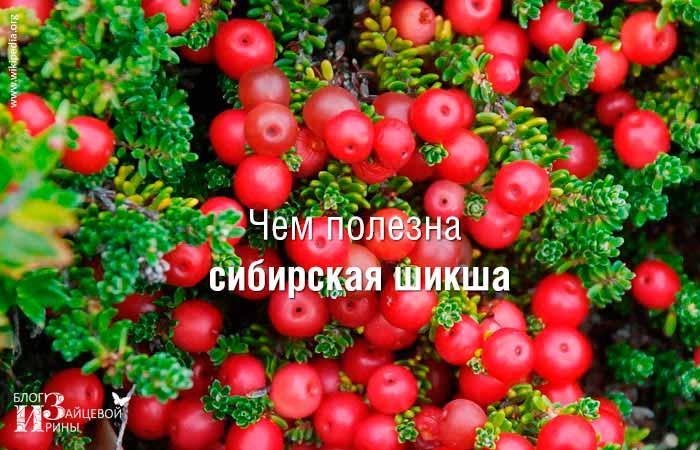Шикша — лечебные свойства и противопоказания. Трава шикша алтайская-лечебные свойства и противопоказания