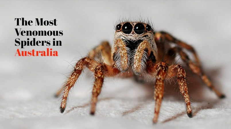 Australian spiders: the 10 most dangerous