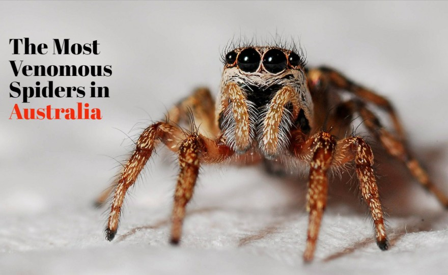 Australian spiders: the 10 most dangerous