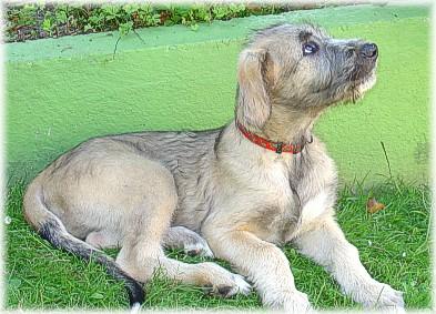 What an Irish wolfhound puppy looks like