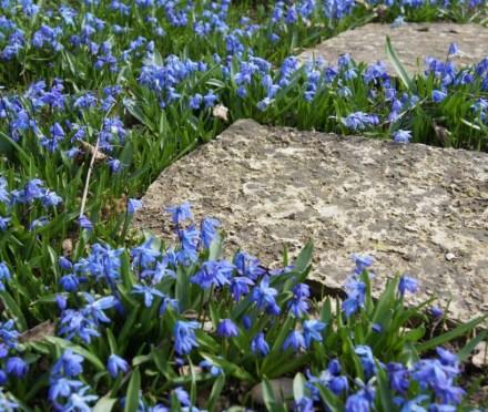 Sibirischer Blaustern, Scilla siberica, Garten Blog