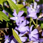 Kleines Immergrün, Vinca minor, Garten Blog
