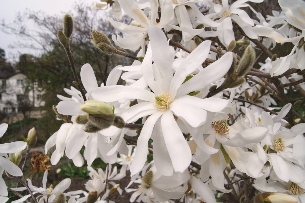 Magnolia stellata (Stern-Magnolie)