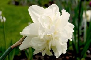 Narcissus 'Obdam' (Gefüllte Narzisse)