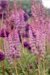 Astilbe chinensis var. taquetii 'Purpurlanze' und Allium sphaerocephalon