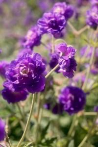Geranium pratense 'Plenum Caeruleum' (Sissinghurst)