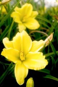 Hemerocallis Hybride 'Green Flutter' (kleinblumige Taglilie)