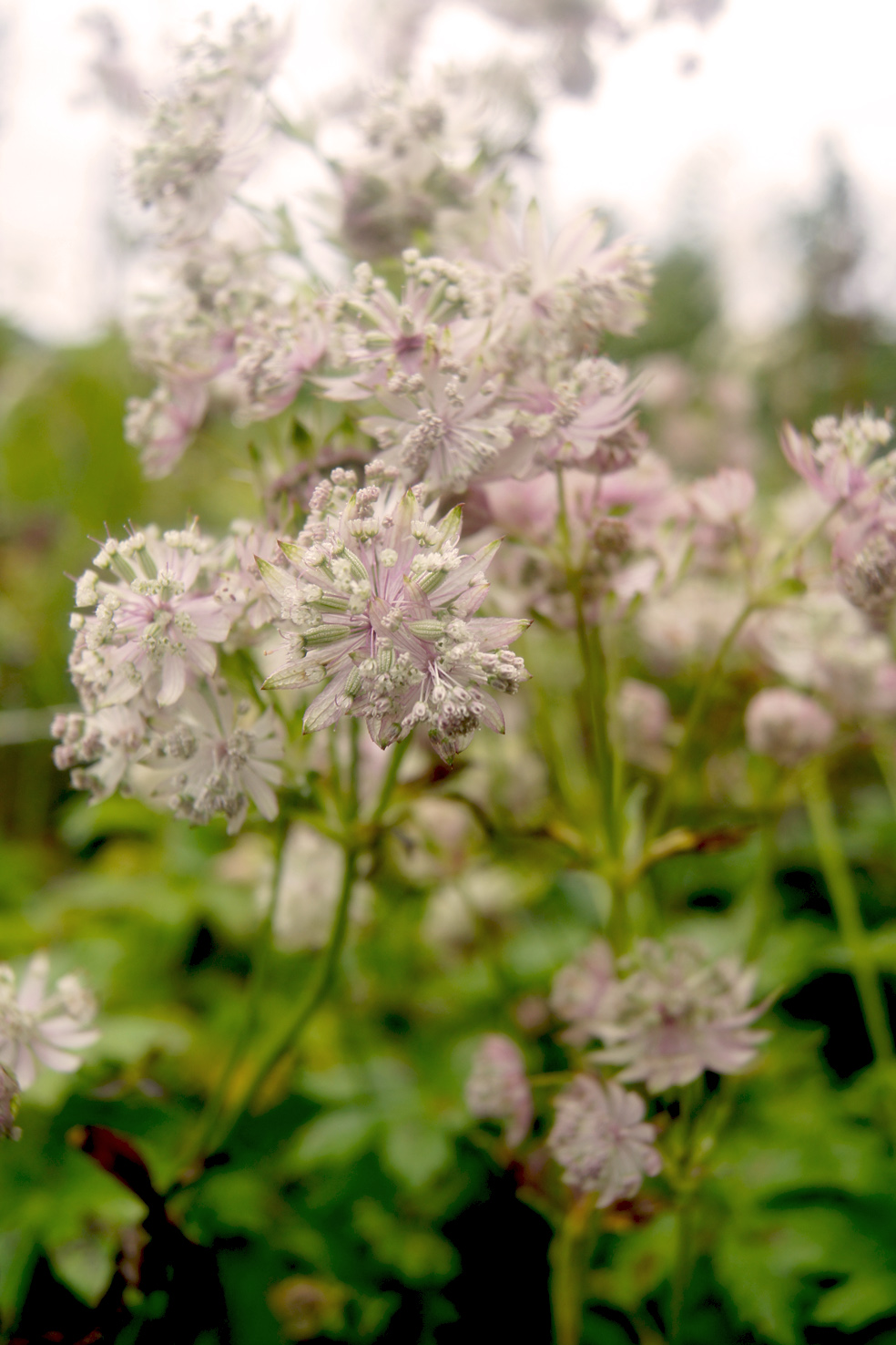 Astrantia major 'Star of Pleasure'