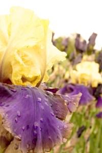 Iris barbata-elatior 'Jurassic Park' (Garteniris)