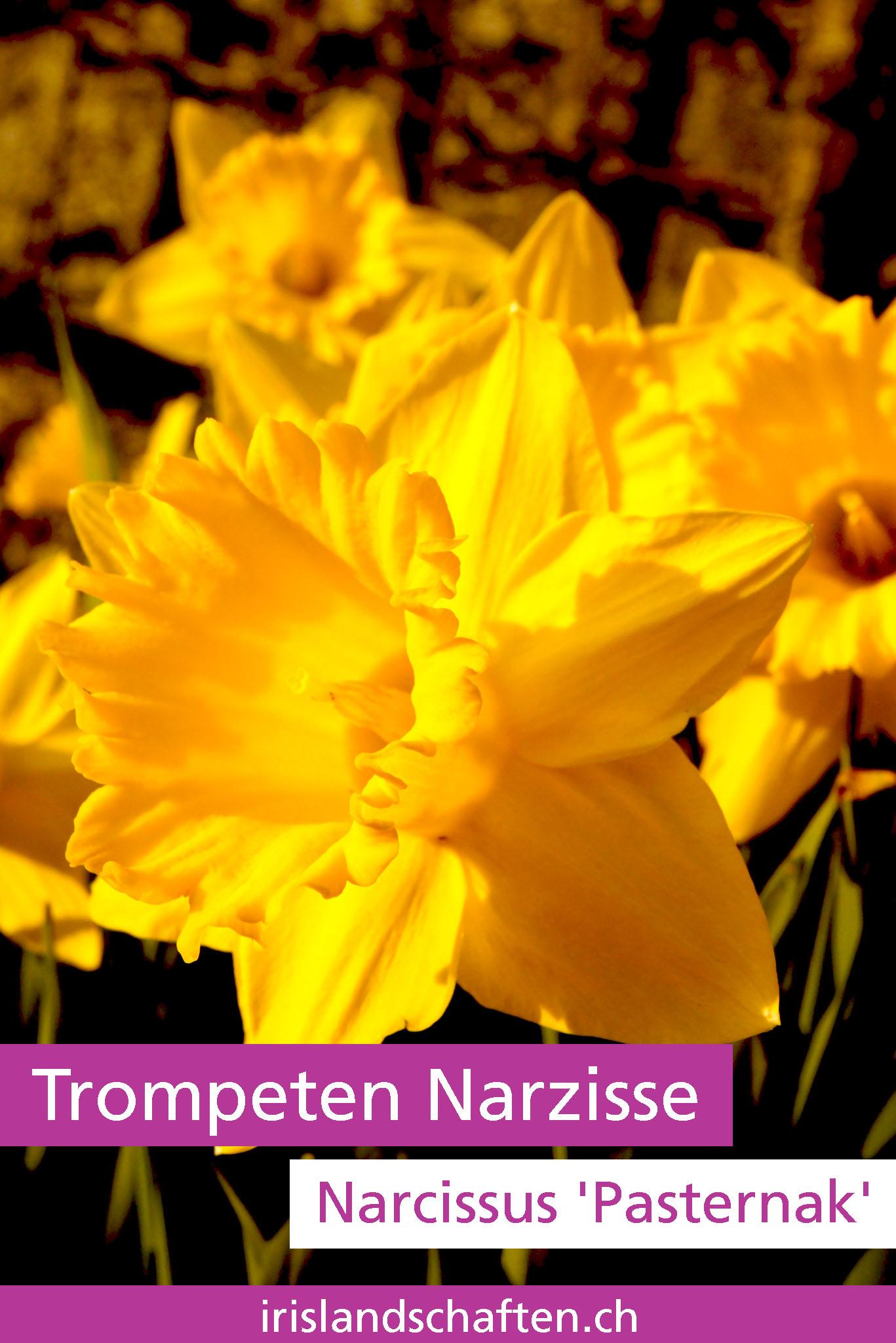 Trompeten Narzisse Narcissus Pasternak Gartengestaltung