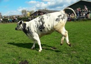 29-04-2017 Dansende koeien (17)
