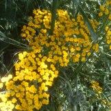 אכילה קטנת פרחים - צמח מרפא. תפרחת של פרחים מורכבים (מסודרים כסוכך)