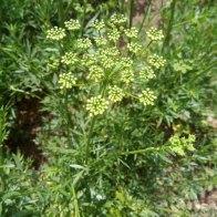 סוכך של פטרוזיליה לקראת פתיחת הפרחים