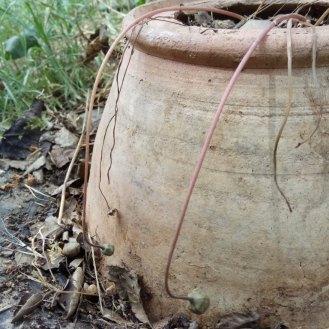 כדורי זרעים ירקרקים עדיין. הזרעים לא מוכנים.