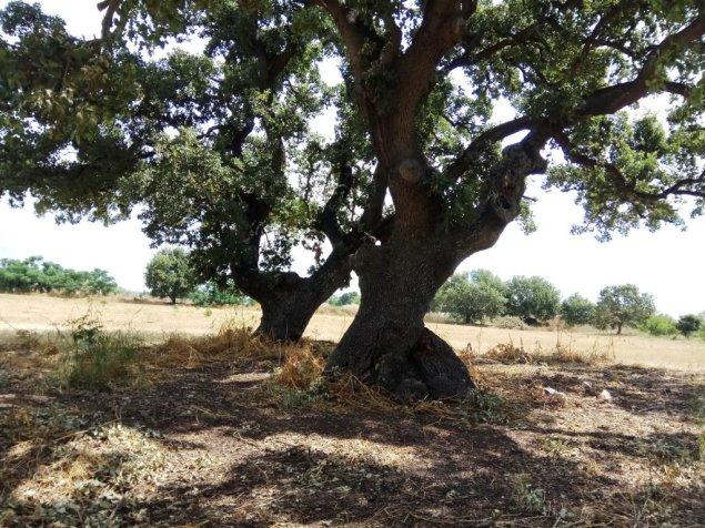 עצי אלון התבור ,רבי שנים