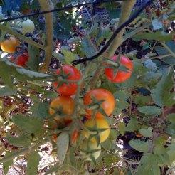 עגבניות שרי- בשלב ההבשלה
