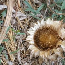 תפרחת יבשה של ארטישוק, על הקרקע, בסוף הקיץ