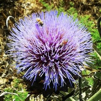 תפרחת ארטישוק אהובה על דבורים. צילמה מיה לפיד