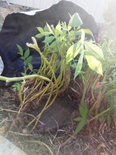 Growth regeneration around the stump of pecan tree