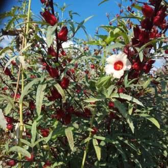 היביסקוס עב גביע- גביעים ופרח, ולידו במיה- עם פירות הגביעים האדומים של ההיביסקוס משמשים לתה