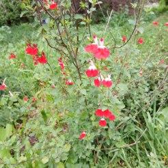 מרוה קטנת עלים- הוט ליפס - צמח צעיר. שילוב אדום ולבן בפרחים