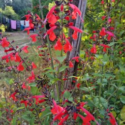 מרוה אדומה (קוקסינאה)- פרחים