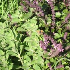 ריחן מג'יק מאונטין- השיח רב שנתי. לידו צמח הפלקרנטוס, גם הוא שפתני