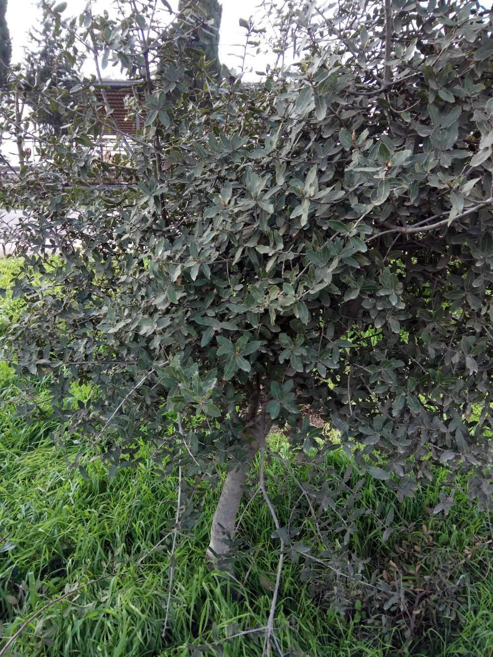 עץ אלון מצוי צעיר- סבוך