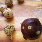 עפצים שונים של עצי אלון