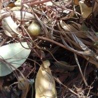 כדורי זרעים צעירים