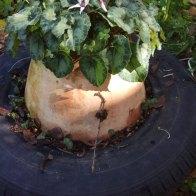 נבטי רקפת שצמחו מזרעים למרגלות צמח האם