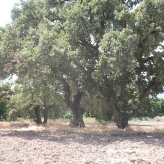 קבוצה של עצי אלון תבור בגבול שטח חקלאי