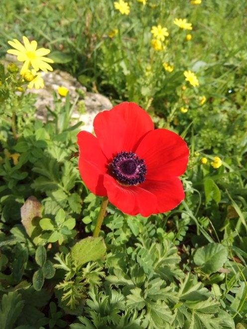 כלנית מצויה - אדומה. פרח צעיר