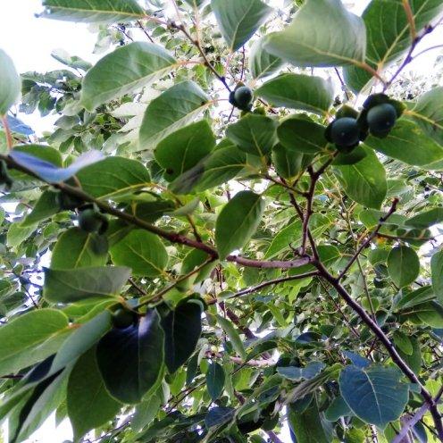 פירות של כנת האפרסמון וירג'ינאנה. גודל סופי כמו שזיף לא גדול. מלאים בגרעינים, אבל מתוקים בהבשלה מלאה.