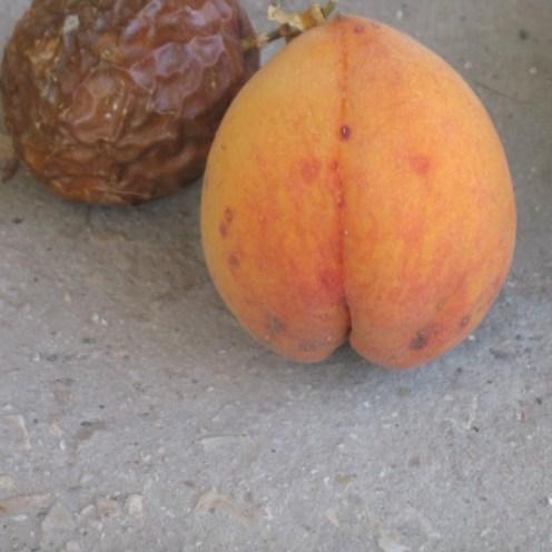 """אפרסק צהוב. הזן נקרא """"אלברטה"""" במקרה זה- העץ צמח מעצמו, מזרע, ללא תשומת לב מיוחדת, בערוגת צמחי תבלין."""