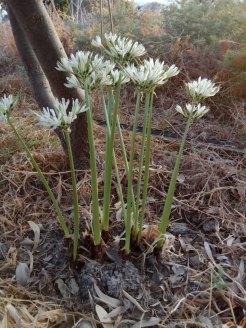 פריחת חבצלת קטנת פרחים מבשרת את הסתיו, כמו החצב. פרח בר.