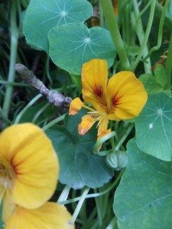 כובע הנזיר - פרח ופרי