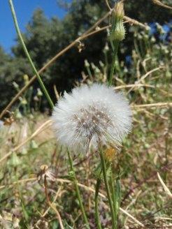 אזנב- כדור זרעים