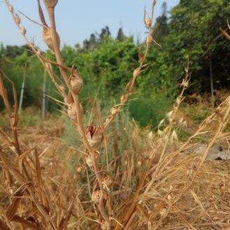 הזרעים של סייפן התבואה על עמוד שהיה קודם עמוד הפריחה .
