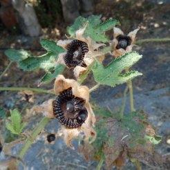 זרעי חוטמית בגינה, רגע לפני פיזור הזרעים